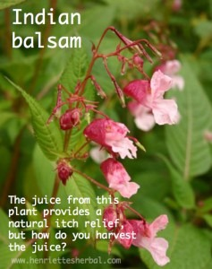 Herbs Indian-balsam-graphic-237x300