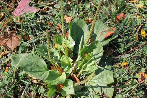 Plantain leaves for bug bites