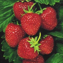 A Love Note to Local Strawberries