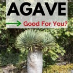 agave, agave health benefits