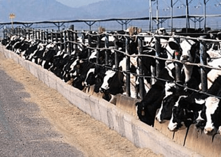 factory farm cows