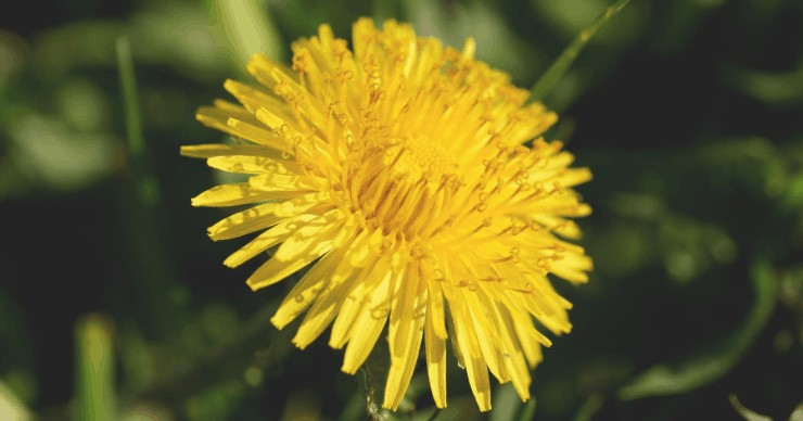 dandelion, organic weed control