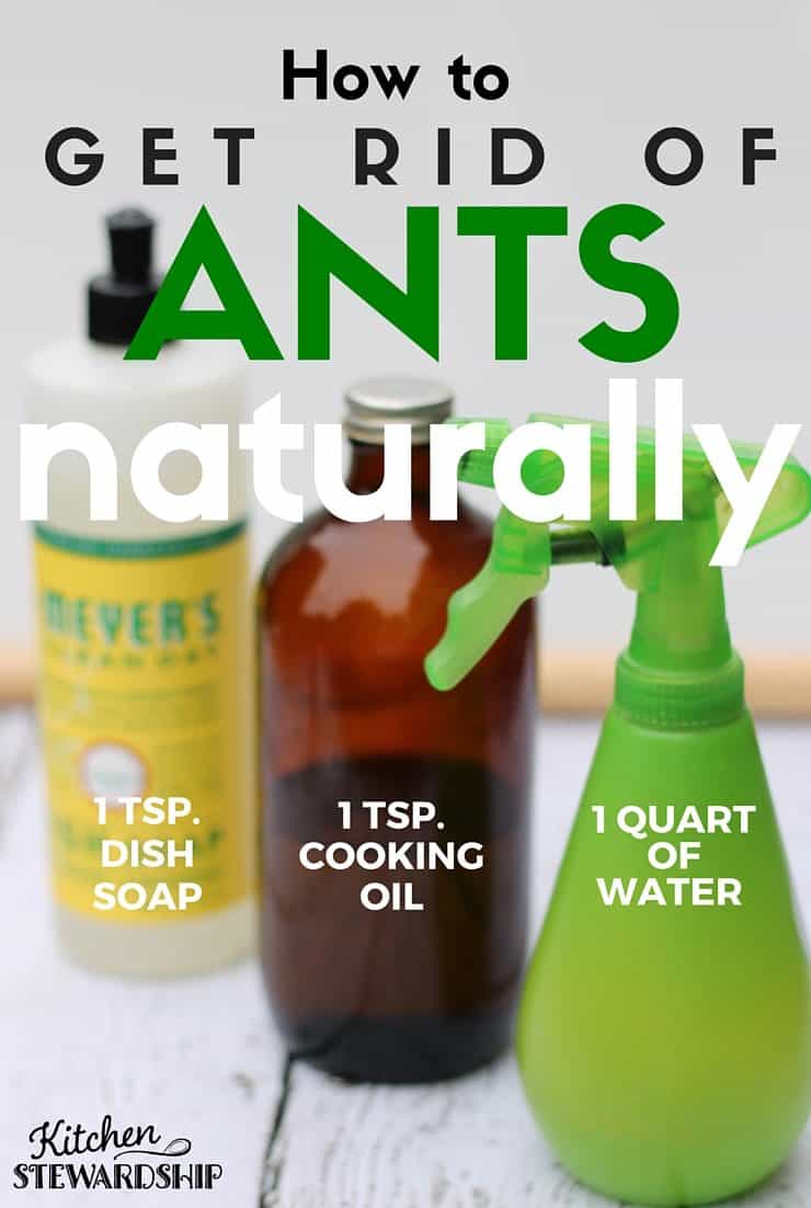 good Home Remedy For Ants In Kitchen #5: Little black sugar ants in your house? Kill them with a homemade ant trap or