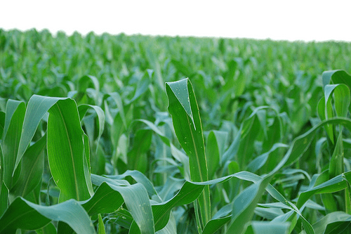 corn field gmo crops