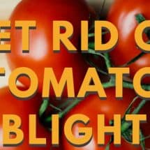 Organic Gardening: How to Get Rid of Tomato Blight