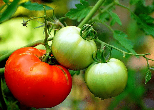 tomatoes - blight solutions