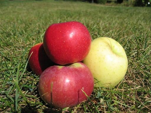 Five ways to preserve apples: dehydrate apple slices, freeze apple slices, freeze and can applesauce, and make applesauce fruit rolls. Recipes too!