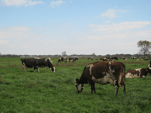 grassfed cows