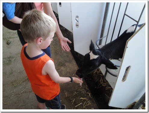 Paul with cows calf farm (2) (475x356)