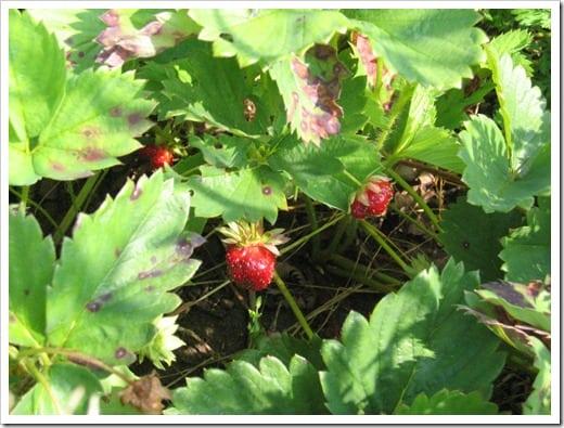 strawberry picking 2010