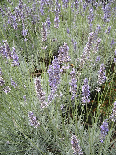 Lavender essential oils can come from many different countries - how to tell if you're buying one that just smells good or really has therapeutic properties. Know the difference between 40/42 and population lavender essential oils, plus more.