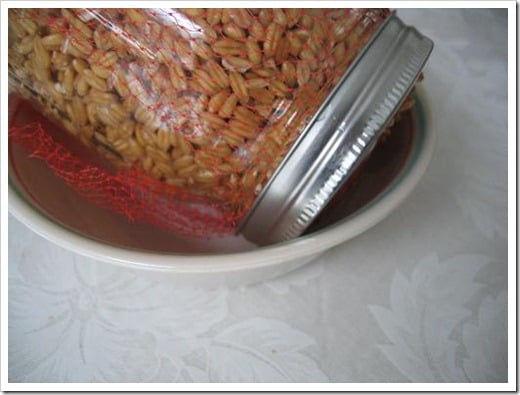 sprouting whole grains
