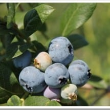 A Tale of Sourcing U-Pick Blueberries (& Some Resources for my Local Grand Rapids, MI Readers)
