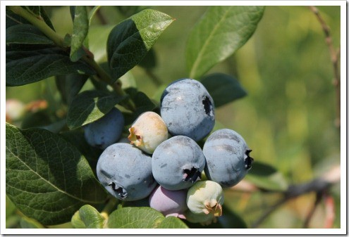 U-Pick Blueberries, Organic and Nearly So, in Grand Rapids, MI