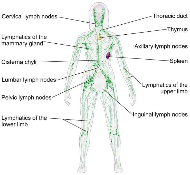 Blausen 0623 Lymphatic System Female