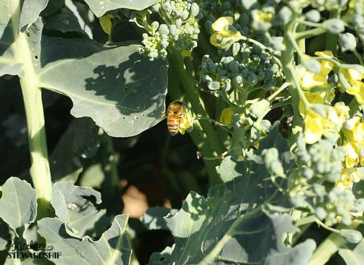 honeybee on broccoli plant