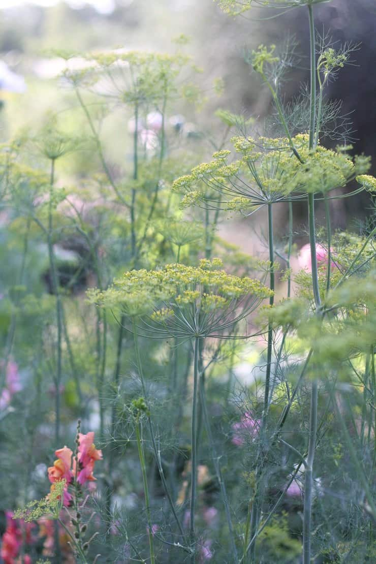 garden fresh dill to season my fermented vegetable recipes