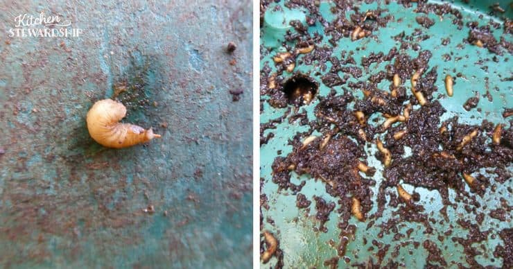 Tips for starting and maintaining a compost bin. What to do when you find larvae.