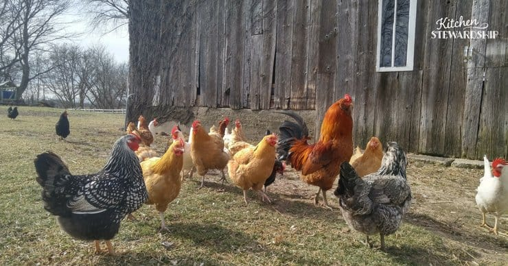 Raising chickens at home. What you need to know and why you might love it! Tips from someone who loves her chickens.