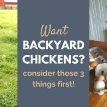 Want Backyard Chickens? Here Are 3 Things You Need to Know First!