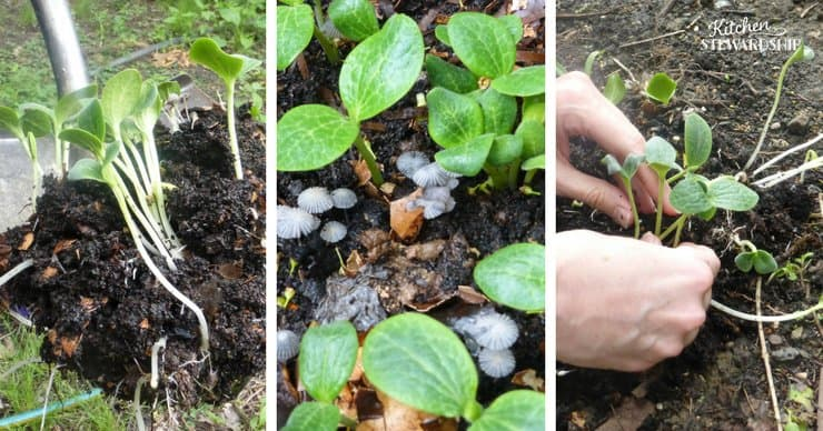 Using compost in your garden seedlings