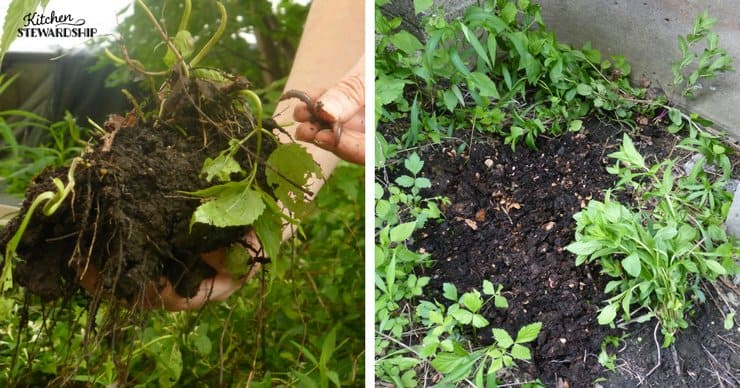 Using compost in your garden weed rootball seeds