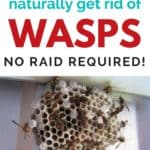 Natural Wasp Killer - Get Rid of Wasp Nests Without Chemicals