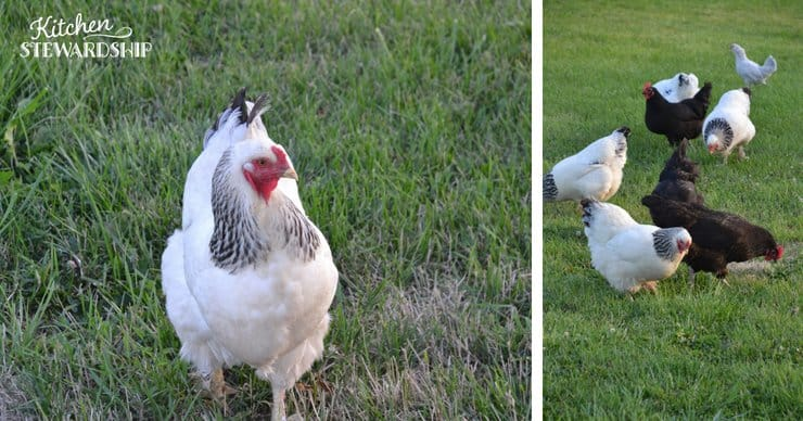 Chickens eating on a pasture.