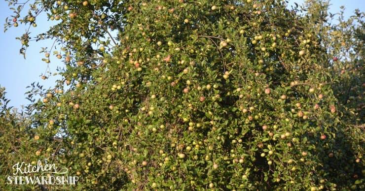 Large fruit tree