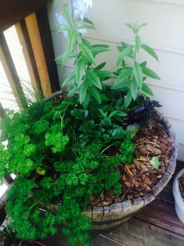 Herbs in a container garden
