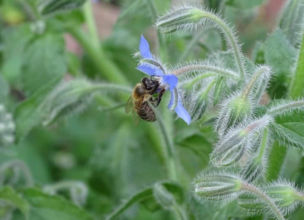 Bee on borage plant