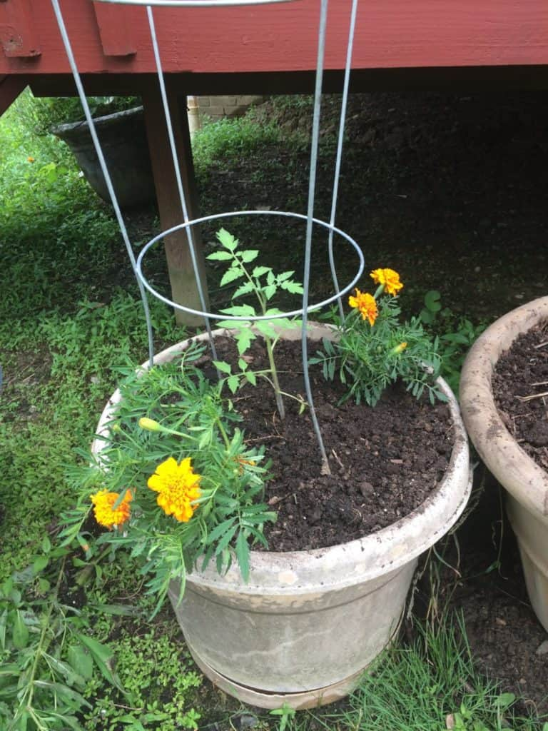 Marigolds and tomatoes