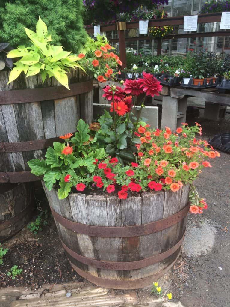 Flowers growing in a barrel