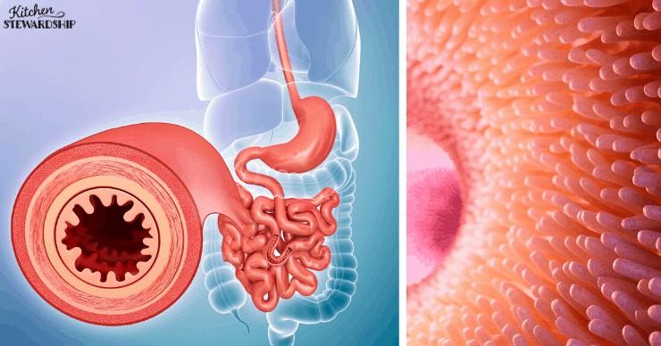 intestinal villi - heal the gut