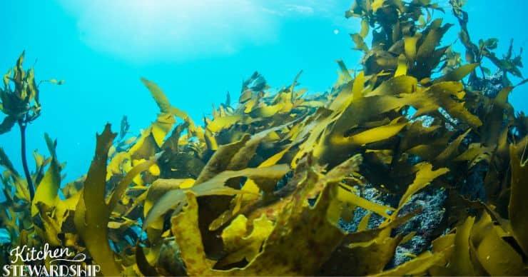 seaweed growing