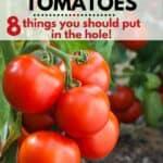 tomato plant in the garden