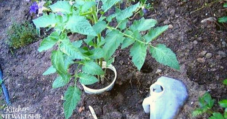 water jug in soil for watering tomatoes