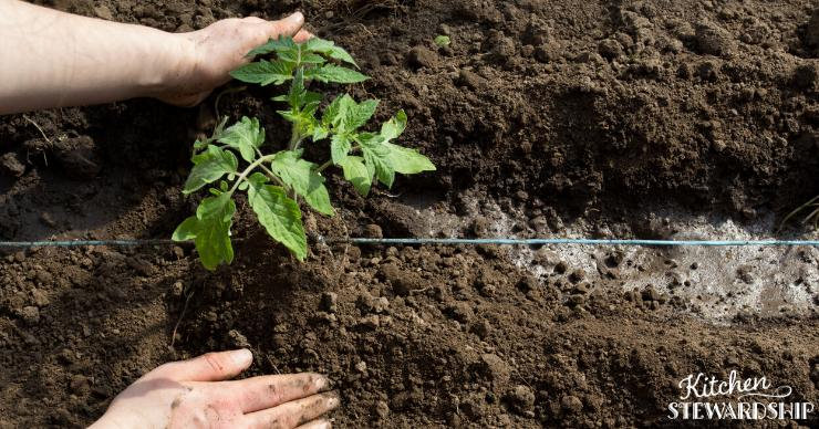 tomato planting in soil