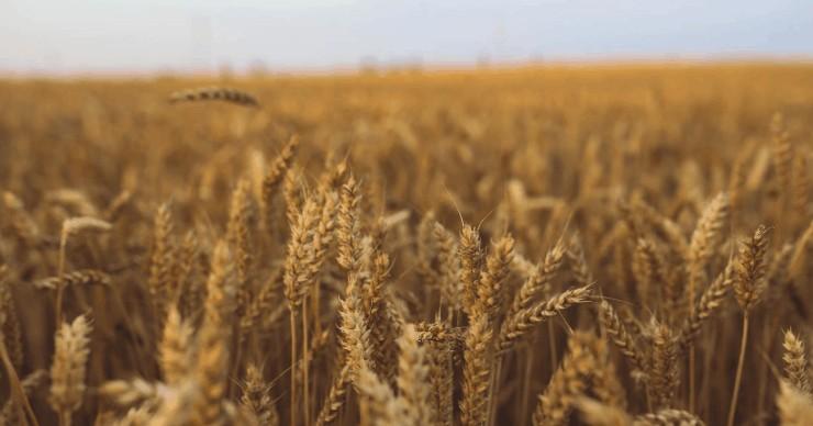 whole grains in field