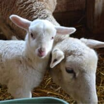 Is Lamb Healthy? | Health Benefits of Eating Lamb