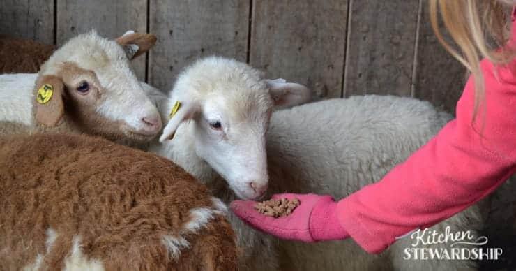 lambs eating grain