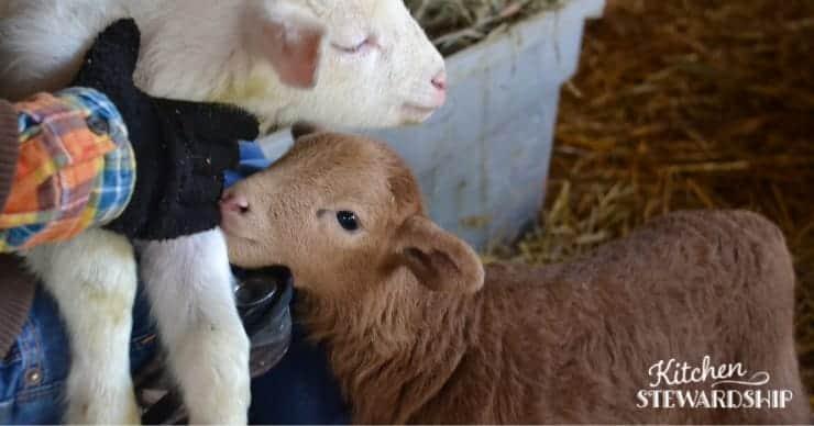 lambs in a barn